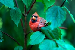central-park-friendly-cardinal