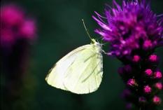 liatris-butterfly