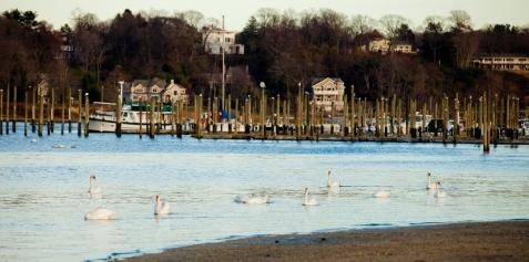 swans-huntington-new-york